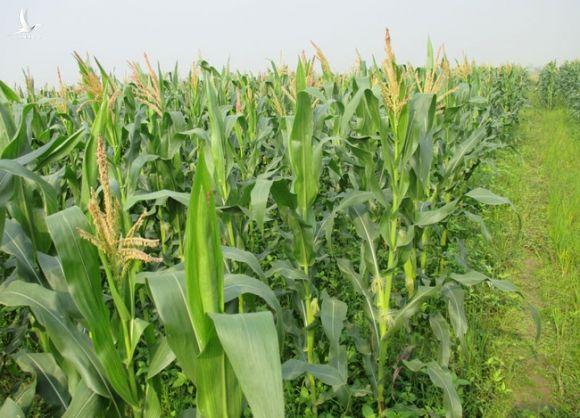 Đồng Nai: Nông dân trồng nho lấy lá, bắp lấy thân khiến diện tích trồng cây hàng năm giảm - Ảnh 3.