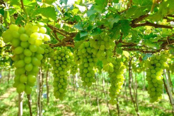 Đồng Nai: Nông dân trồng nho lấy lá, bắp lấy thân khiến diện tích trồng cây hàng năm giảm - Ảnh 2.