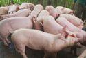 Giá lợn tăng liên tục, doanh nghiệp chăn nuôi báo lãi lớn