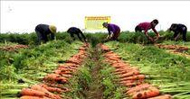 Giải cứu nông sản Hải Dương: Lòng tốt được kích hoạt