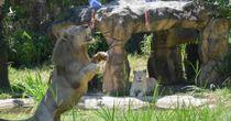 Sư tử Thái Lan thành 'nhà tiên tri' vì đoán đúng 4 trận ở Euro 2020