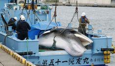 Tàu cá Nhật đưa về con cá voi đầu tiên đánh bắt thương mại sau 31 năm