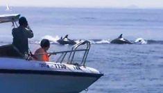 Cá heo xuất hiện ở biển Cù Lao Chàm: 'Điều lạ, tín hiệu tích cực'