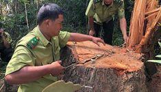 Gỗ khủng ở rừng đặc dụng: Công an, kiểm lâm vào cuộc