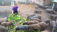 Mổ xẻ quy định phạt dân nuôi heo bằng bèo tây