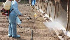Cúm gia cầm lây lan diện rộng đe dọa xuất khẩu động vật