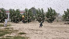 """Năm """"tam tai"""": 'Binh đoàn' châu chấu áp sát Trung Quốc"""