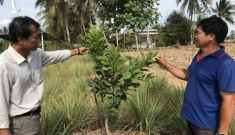 Nông dân miền Tây không ngồi bó tay, trồng cây thích nghi hạn, mặn
