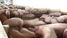 Thịt lợn vẫn quá đắt, bài toán kinh tế khó giải thế sao ?