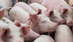 Nhập khẩu lợn sống để hạ giá lợn hơi trong nước