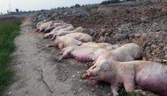 Dịch bệnh bùng phát, tiêu huỷ 34.000 con lợn, giá thịt lại tăng