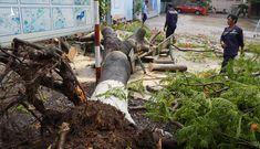 Vì cây phượng đổ mà các trường chặt hết cây xanh là việc làm thái quá