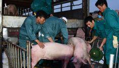 Vì sao cho phép nhập khẩu lợn sống Thái Lan về Việt Nam?