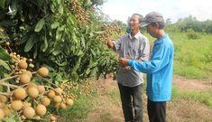 Hiệu quả từ mô hình trồng nhãn Ido trên đất Phong Hòa