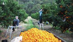 Daily Mail: Nỗi kinh hoàng của lao động nước ngoài làm việc tại nông trại Australia