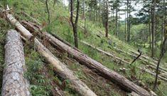 Diện tích rừng phòng hộ giảm dần, chỉ có 0,25% rừng tự nhiên còn nguyên vẹn