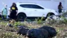 Lợn ỉ Việt Nam 'làm loạn' ở lãnh thổ Mỹ