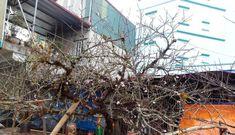 Bộ trưởng Mai Tiến Dũng: Đào rừng của người dân tự trồng vẫn được bán chơi Tết