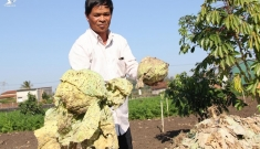 Nông dân nhổ bỏ hơn 400 tấn rau vì giá thấp