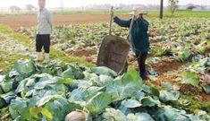 """Bao giờ nông sản Việt Nam không còn phải """"giải cứu"""" ?"""