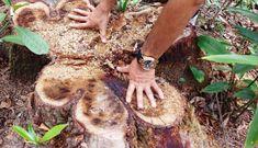 NÓNG: Hàng chục cây cổ thụ thuộc rừng phòng hộ bị chặt đem bán do nhầm