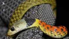 Bé gái 15 tháng tử vong do rắn cổ đỏ cắn: Do không có huyết thanh kháng nọc