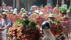 Thủ tướng đồng ý cho 190 thương nhân Trung Quốc vào thu mua vải thiều Lục Ngạn