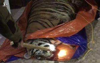 Phát hiện một con hổ nặng 250kg nằm bất tỉnh trong nhà dân ở Hà Tĩnh